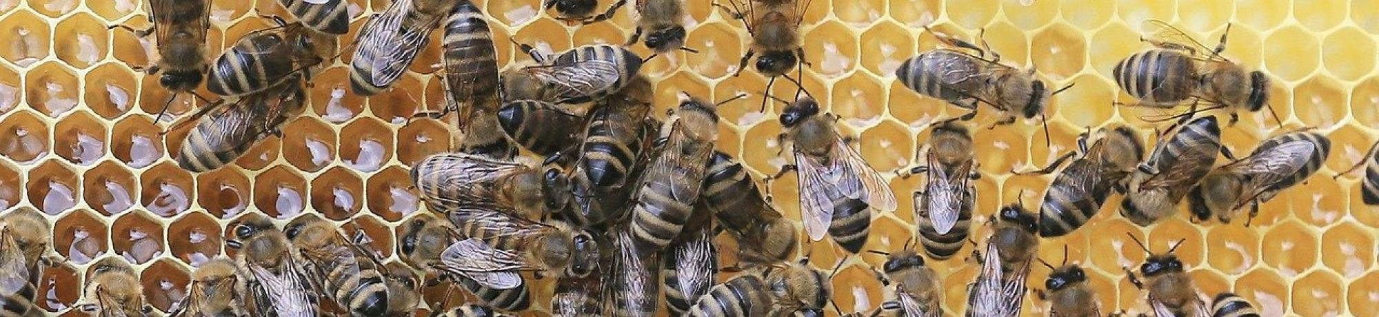 A large gathering of bees on a honeycomb